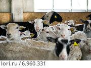 Стадо овец на ферме. Стоковое фото, фотограф Оксана Алексеенко / Фотобанк Лори