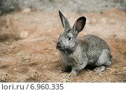 Темно-серый кролик на ферме. Стоковое фото, фотограф Оксана Алексеенко / Фотобанк Лори