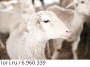 Белая молодая овечка. Стоковое фото, фотограф Оксана Алексеенко / Фотобанк Лори