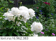 Купить «Белые пионы (лат. Paeonia) на клумбе в саду», эксклюзивное фото № 6962383, снято 13 июня 2014 г. (c) Елена Коромыслова / Фотобанк Лори