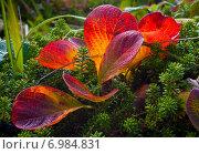 Купить «Осенние листья арктоуса альпийского среди кустов шикши», фото № 6984831, снято 24 августа 2008 г. (c) Дмитрий УТКИН / Фотобанк Лори