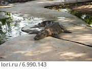 Крокодил на ферме. Стоковое фото, фотограф Александр Первунин / Фотобанк Лори