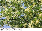 Купить «Ветка цветущей липы на фоне голубого неба», эксклюзивное фото № 6990163, снято 20 июня 2014 г. (c) Ирина Водяник / Фотобанк Лори