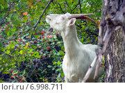 Купить «Белая коза в ветках боярышника», фото № 6998711, снято 7 сентября 2014 г. (c) Валерий Боярский / Фотобанк Лори
