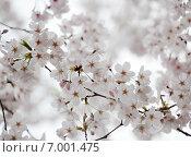 Сакура (японская вишня) в полном цвету. Стоковое фото, фотограф Алексей Копытько / Фотобанк Лори