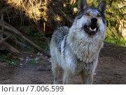 Серый волк. Стоковое фото, фотограф Вотякова Ирина / Фотобанк Лори