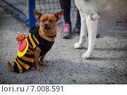 Собака в костюме пчелы. Стоковое фото, фотограф Artem Kotelnikov / Фотобанк Лори