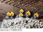 Купить «Гнездо. Ласточка деревенская, Hirundo rustica.», фото № 7009915, снято 7 июня 2012 г. (c) Василий Вишневский / Фотобанк Лори