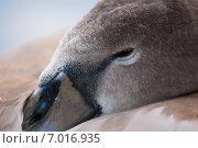 Дикий лебедь. Стоковое фото, фотограф Roman Vukolov / Фотобанк Лори