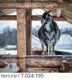 Купить «Коза на деревянном колодце», фото № 7024195, снято 1 февраля 2015 г. (c) Сергей Великанов / Фотобанк Лори
