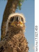 Купить «Птенец орлана-белохвоста в гнезде», фото № 7027459, снято 29 мая 2012 г. (c) Дмитрий Жуков / Фотобанк Лори