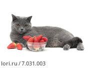 Купить «Серая британская кошка лежит у чашки с клубникой на белом фоне», фото № 7031003, снято 18 февраля 2015 г. (c) Ласточкин Евгений / Фотобанк Лори