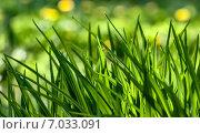 Молодая зеленая трава. Стоковое фото, фотограф Павел Ерыкин / Фотобанк Лори