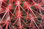 Эхинокактус грузони красный, фото № 7034671, снято 20 февраля 2015 г. (c) Наталья Волкова / Фотобанк Лори
