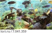 Купить «Разноцветные малавийские цихлиды. Рыбы из рода Cynotilapia», видеоролик № 7041359, снято 4 августа 2020 г. (c) Евгений Ткачёв / Фотобанк Лори