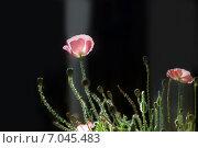 Купить «Розовые маки с бутонами на темном фоне», фото № 7045483, снято 8 сентября 2011 г. (c) Татьяна Белова / Фотобанк Лори