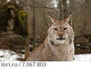Портрет рыси. Стоковое фото, фотограф Irina Gladkaja / Фотобанк Лори