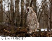 Зевающая рысь в зимнем лесу. Стоковое фото, фотограф Irina Gladkaja / Фотобанк Лори