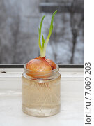 Купить «Зелёные стрелы репчатого лука», фото № 7069203, снято 28 февраля 2015 г. (c) Андрей Забродин / Фотобанк Лори