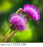 Бодяк разнолистный (Cirsium heterophyllum).Цветы крупно. Стоковое фото, фотограф Евгений Мухортов / Фотобанк Лори