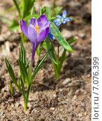 Первые весенние цветы – крокусы. Стоковое фото, фотограф Павел Ерыкин / Фотобанк Лори