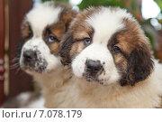 Два милых щенка. Стоковое фото, фотограф Ксения Богданова / Фотобанк Лори