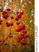 Рябина красная осенью. Стоковое фото, фотограф Ольга Коркина / Фотобанк Лори