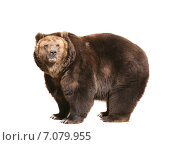 Купить «Бурый медведь на белом фоне изолировано», фото № 7079955, снято 11 апреля 2010 г. (c) Наталья Волкова / Фотобанк Лори