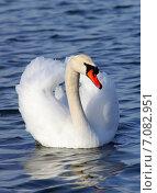Лебедь. Стоковое фото, фотограф Вячеслав Зяблов / Фотобанк Лори