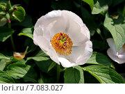Цветок пиона древовидного (Paeonia suffruticosa) Стоковое фото, фотограф Илюхина Наталья / Фотобанк Лори