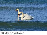 Купить «Два молодых лебедя-шипуна», фото № 7083207, снято 21 января 2014 г. (c) Сергей Трофименко / Фотобанк Лори