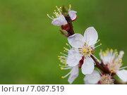 Купить «Вишневый цвет», фото № 7087519, снято 21 апреля 2014 г. (c) Asja Sirova / Фотобанк Лори