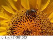 Оса на подсолнухе на полях Болгарии. Стоковое фото, фотограф Юлия Алексеева / Фотобанк Лори
