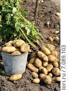 Урожай картофеля на поле. Ведро картофеля. Стоковое фото, фотограф Светлана Давыдова / Фотобанк Лори