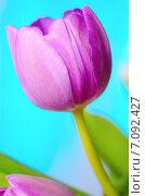 Купить «Сиреневый тюльпан на голубом фоне», фото № 7092427, снято 7 марта 2015 г. (c) Владислав Осипов / Фотобанк Лори