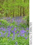 Купить «Колокольчики в лесу весной», фото № 7094731, снято 17 апреля 2014 г. (c) Любовь Михайлова / Фотобанк Лори
