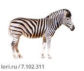 Купить «full length of zebra», фото № 7102311, снято 14 мая 2014 г. (c) Яков Филимонов / Фотобанк Лори