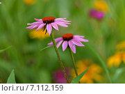 Дачные цветы. Стоковое фото, фотограф Мариана Бэлэнеску / Фотобанк Лори