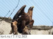 Беркут на ветке с расправленными крыльями снизу в три четверти. Стоковое фото, фотограф Евгений Макеев / Фотобанк Лори