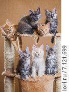 Купить «Котята породы мейн-кун», фото № 7121699, снято 5 августа 2014 г. (c) Gagara / Фотобанк Лори