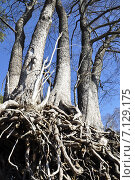 Купить «Пять стволов лиственных деревьев с обнажёнными корнями на фоне синего неба ранней весной», фото № 7129175, снято 15 марта 2015 г. (c) Владимир Кошарев / Фотобанк Лори