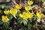 Соцветия весенника зимнего, эксклюзивное фото № 7129339, снято 16 марта 2015 г. (c) Наталья Антонова / Фотобанк Лори