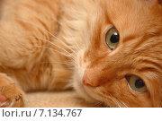 Рыжий кот. Стоковое фото, фотограф Андрей Кудряшов. / Фотобанк Лори