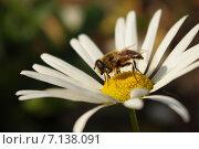 Пчела на ромашке. Стоковое фото, фотограф Елена / Фотобанк Лори