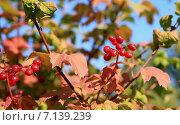 Калина красная. Стоковое фото, фотограф Моргулян Михаил / Фотобанк Лори