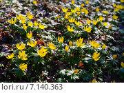 Купить «Весенник зимний, контровый свет», фото № 7140363, снято 18 марта 2015 г. (c) Сергей Куров / Фотобанк Лори