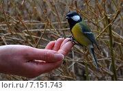 Купить «Синица на пальце руки», фото № 7151743, снято 7 февраля 2015 г. (c) Карданов Олег / Фотобанк Лори