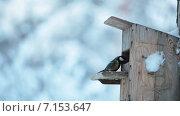 Купить «Синицы летают вокруг кормушки, зима, лес», видеоролик № 7153647, снято 31 января 2015 г. (c) Кекяляйнен Андрей / Фотобанк Лори