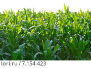 Поле кукурузы. Стоковое фото, фотограф Анна Алексеева / Фотобанк Лори