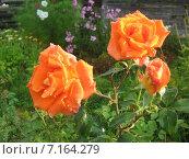 Розы. Стоковое фото, фотограф Алексей Апполонов / Фотобанк Лори